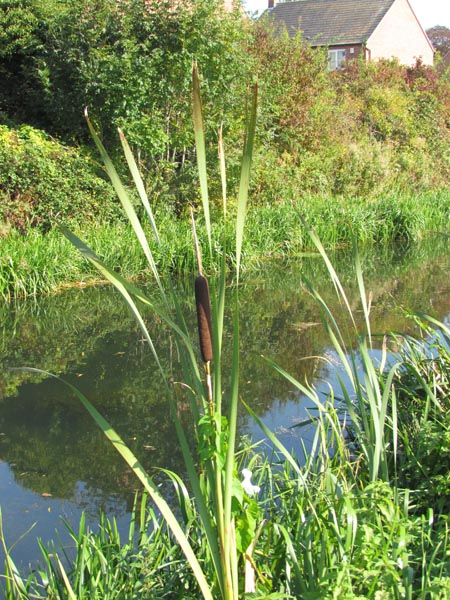 The bulrush stands out of the water with long, thin leaves and displays a 'sausage shaped' flower that looks as if it's made of brown velvet.