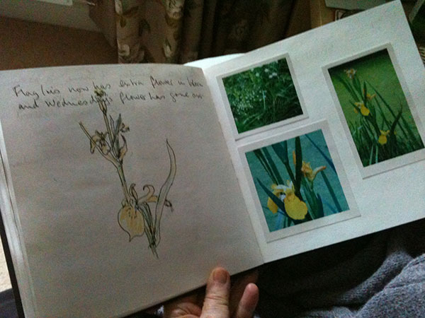 A close up view of Iris's sketches and photographs of yellow iris flowers.