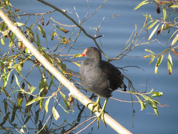A moorhen stands with its long yellow legs curled round a small branch in the sun