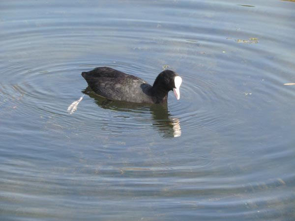 A coot , a small black bird with a white patch on its head and white beak, swims along in very clear water.